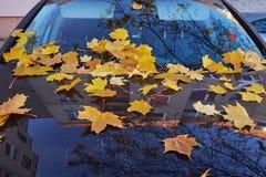 Желтые кленовые листы осени Стоковая Фотография