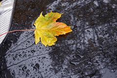 Желтые кленовые листы осени Стоковые Фото