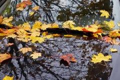 Желтые кленовые листы осени Стоковое Изображение RF