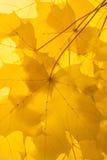 Желтые кленовые листы осени Стоковые Фотографии RF