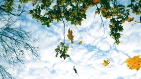 Желтые кленовые листы падая в осень паркуют с облачным небом на предпосылке Красивейший ландшафт красочный сезон падения видеоматериал