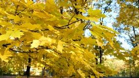 Желтые кленовые листы пошатывая в ветре в конце парка вверх сток-видео