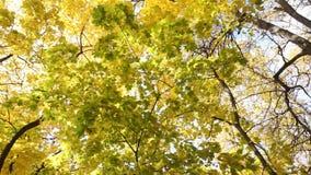желтые кленовые листы пошатывая в ветре сток-видео