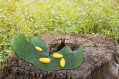 Желтые коконы и листья шелковицы на старом пне Стоковое Изображение RF