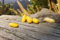 Желтые коконы кладут дальше треснутый stub и предпосылка красива Стоковая Фотография RF