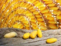 Желтые коконы на мертвом дереве Стоковые Изображения RF