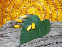 Желтые кокон и шелковица листают на мертвом дереве Стоковые Изображения