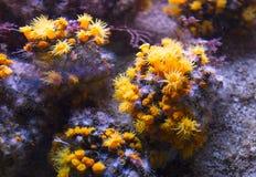 Желтые кораллы чашки Стоковые Фото