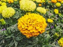 Желтые королевства стоковая фотография