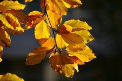 Желтые листья бука в осени Стоковое Изображение