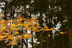 Желтые листья в воде и отражении соснового леса Стоковая Фотография RF