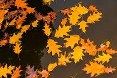 Желтые листья в воде и отражении соснового леса Стоковые Фотографии RF