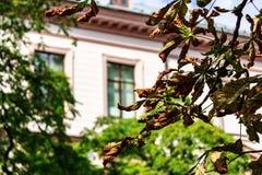 Желтые листья каштана стоковые фотографии rf