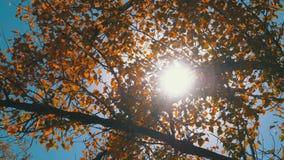 Желтые листья осени на ветви дерева против яркого солнца и голубого неба акции видеоматериалы
