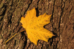 Желтые листья осени на расшиве вала Стоковые Фотографии RF