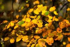 Желтые листья осени Стоковое Изображение