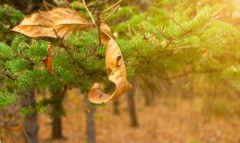 Желтые лист на предпосылке ветви рождественской елки Сезонно концепция Christmass Фото Конца-вверх стоковое фото rf