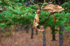 Желтые лист на предпосылке ветви рождественской елки Сезонно концепция Christmass Фото Конца-вверх стоковые фото