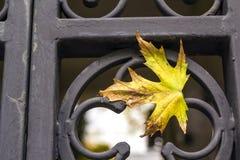 Желтые лист осени на металле выковали загородку Стоковые Изображения