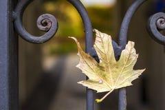 Желтые лист осени на металле выковали загородку Стоковое фото RF