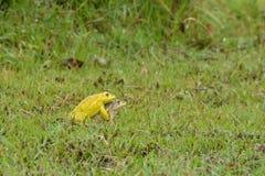 Желтые лягушки играют Стоковые Изображения