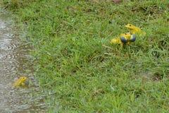 Желтые лягушки играют Стоковые Изображения RF
