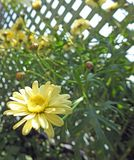 Желтые маргаритки маргаритки зацветая в солнце лета Стоковое Изображение RF