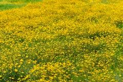 Желтые маргаритки на поле Стоковые Фото