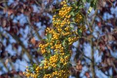 Желтые одичалые ягоды рябины, aucuparia рябины стоковые изображения