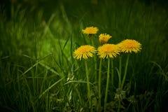 Желтые одуванчики в зеленой траве стоковые фотографии rf