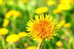 Желтые одуванчики в луге Стоковое Фото