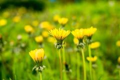 Желтые одуванчики растя на лужайке загоренной солнечным светом Селективный фокус желтые цветки весны в луге против детенышей весн Стоковое Изображение RF