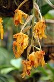 Желтые орхидеи в Mindo, эквадоре Стоковое Изображение RF