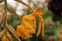 Желтые орхидеи в Mindo, эквадоре Стоковые Фотографии RF