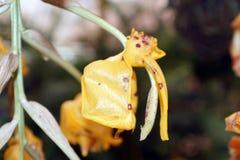 Желтые орхидеи в Mindo, эквадоре Стоковое Изображение