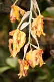 Желтые орхидеи в Mindo, эквадоре Стоковые Изображения RF