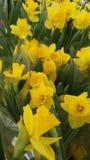 Желтые орхидеи закрывают вверх Стоковое Изображение RF