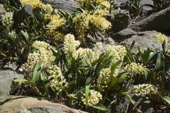 Желтые орхидеи утеса Сиднея растя между песчаником трясут стоковые изображения rf