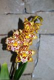 Желтые орхидеи Стоковые Фото
