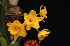 Желтые орхидеи Стоковые Изображения RF