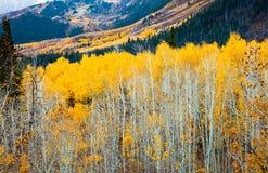 Желтые осины Стоковые Фотографии RF