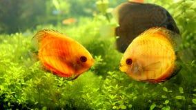 Желтые пары рыб диска цвета в аквариуме Стоковая Фотография RF