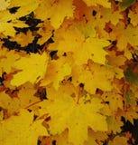 Желтые покрашенные листья осени стоковые фотографии rf