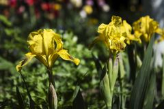 Желтые радужки - яркая весна цветет в саде для благоустраивать стоковое фото rf