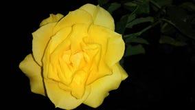 Желтые розовые обои стоковые изображения