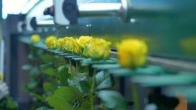 Желтые розы введенные внутри грейдера подвергают механической обработке вручную акции видеоматериалы