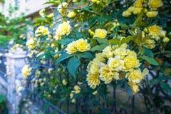 Желтые розы в саде Стоковое Фото