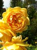 Желтые розы в саде стоковые изображения