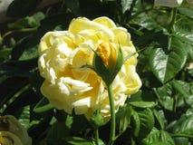 Желтые розы Стоковые Фотографии RF