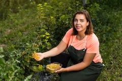 Желтые садоводы смородины проектируют работу в саде с сбором, женщиной с коробкой ягод стоковое изображение